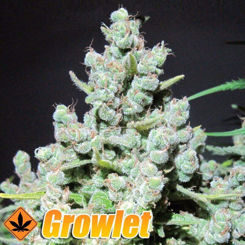 Malakoff semillas feminizadas de cannabis