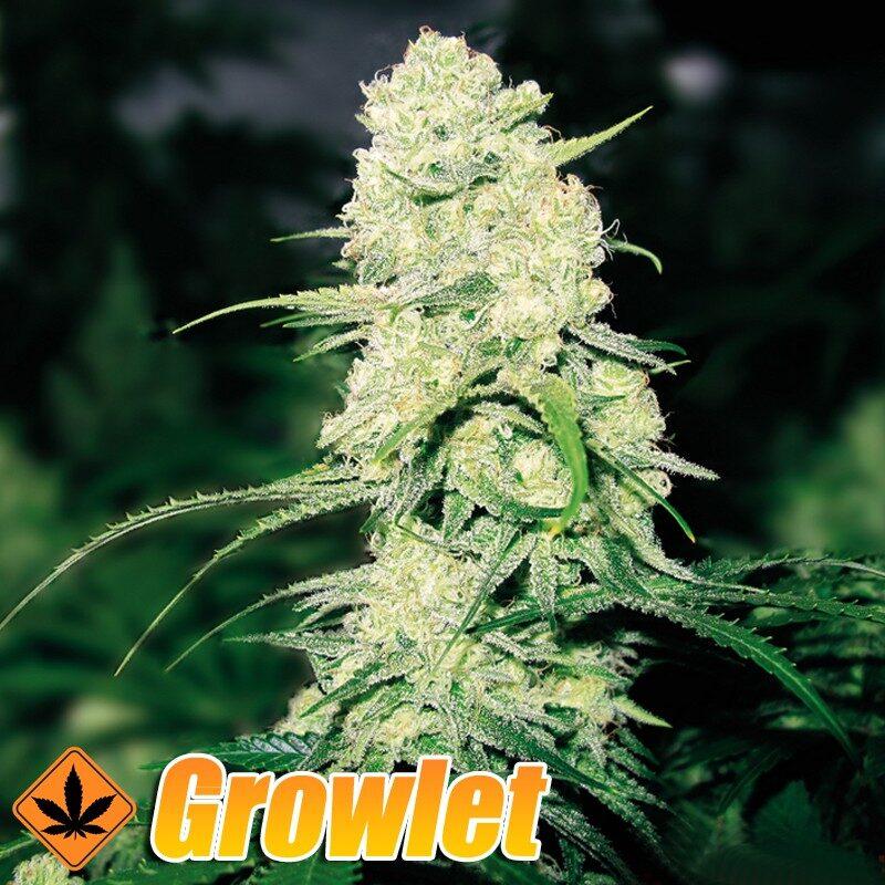 Y Griega semillas feminizadas de cannabis