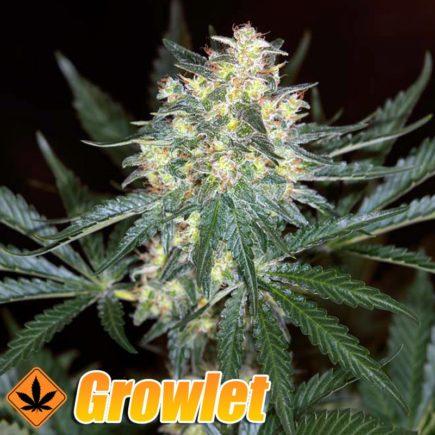 Black Jack semillas feminizadas de cannabis