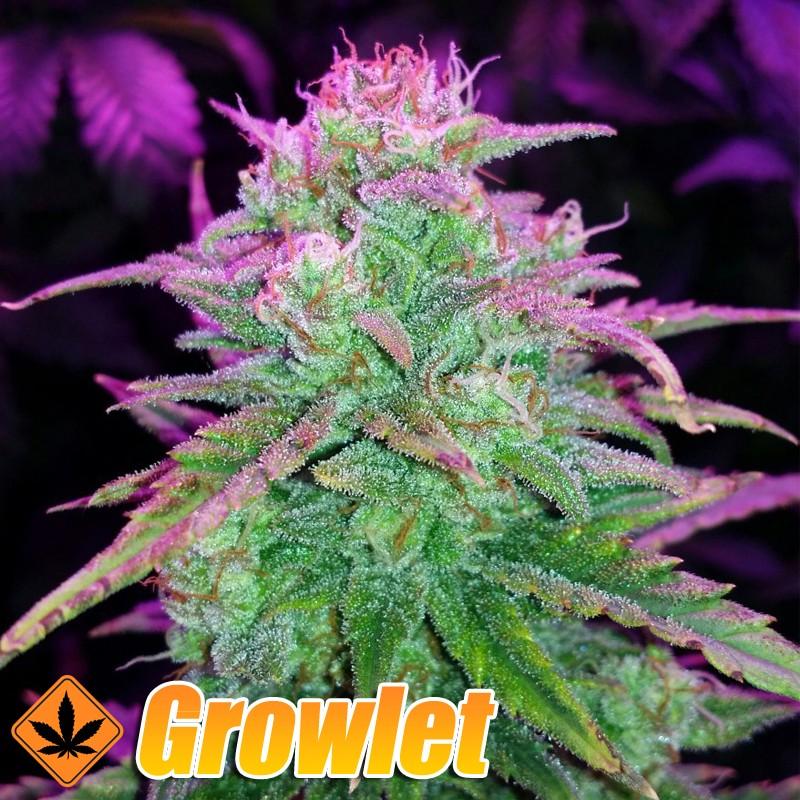 Ice Cool semillas feminizadas de cannabis