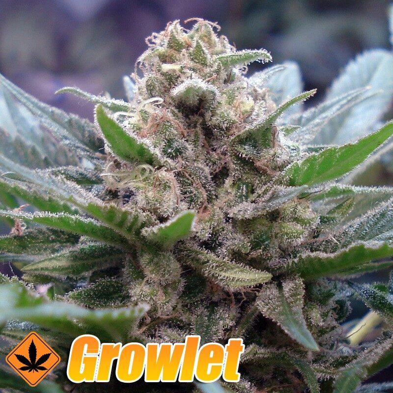 Sweet Afgani Delicious SAD semillas feminizadas de cannabis