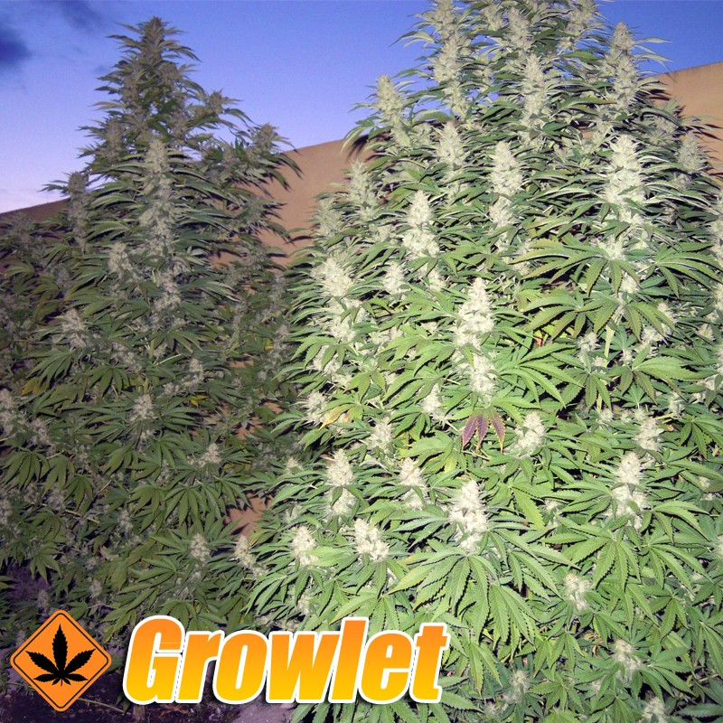 Dutch Dragon semillas feminizadas de cannabis