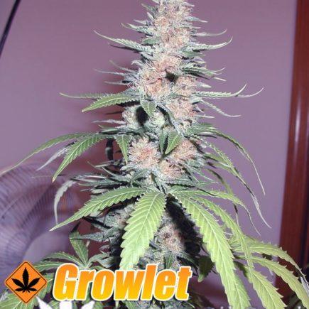 Jacky White semillas feminizadas de cannabis