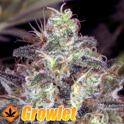 Nebula semillas feminizadas de cannabis