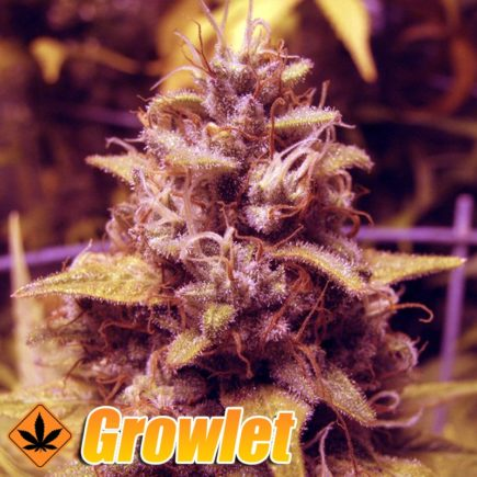 Opium semillas feminizadas de cannabis