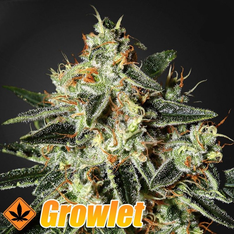 GH Cheese semillas feminizadas de cannabis