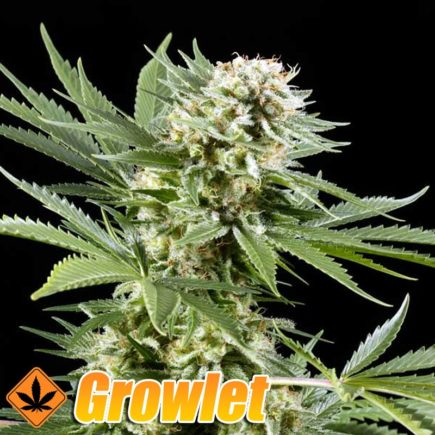 El Niño semillas feminizadas de cannabis