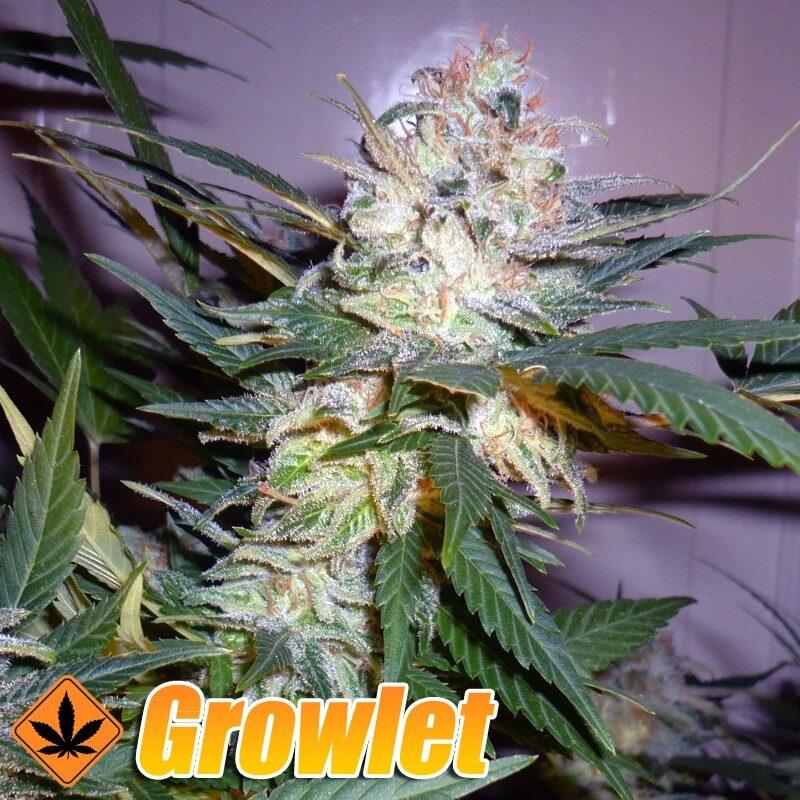 Great White Shark semillas feminizadas de cannabis
