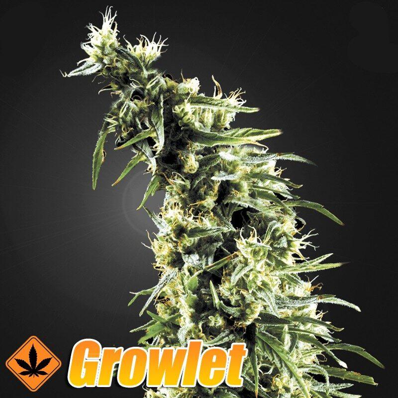 Hawaiian Snow semillas feminizadas de cannabis