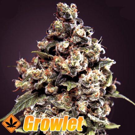 Jack Herer GH semillas feminizadas de cannabis