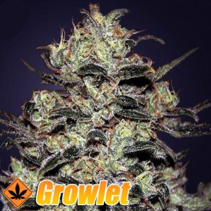Moby Dick GH semillas feminizadas de cannabis