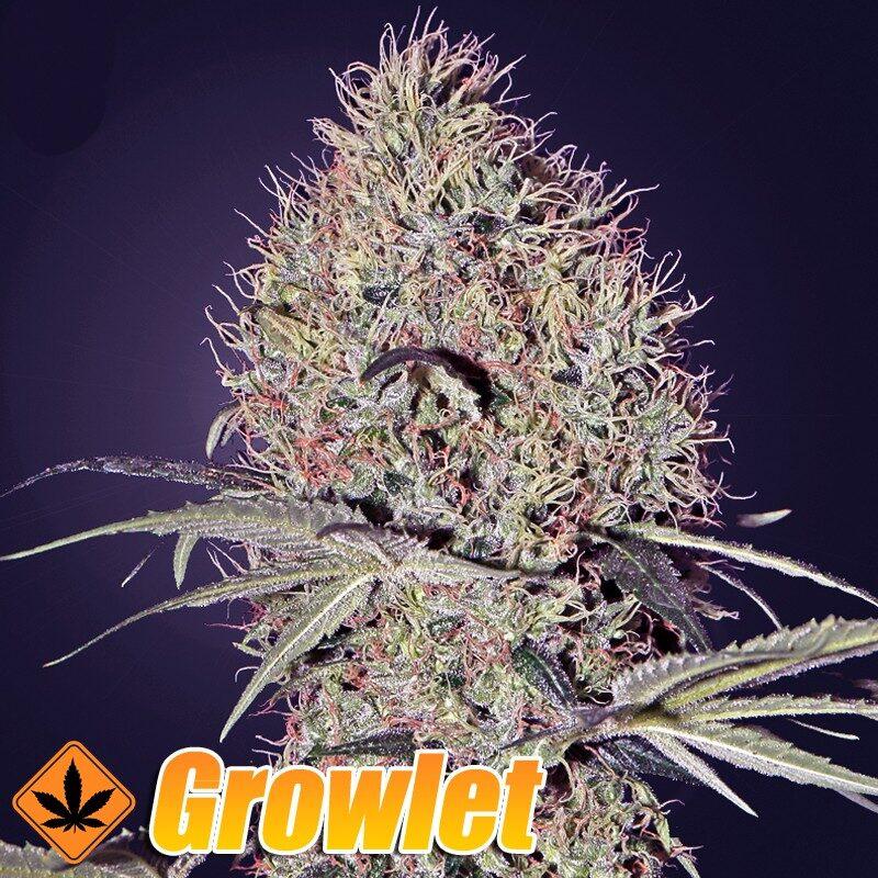 Super Bud semillas feminizadas de cannabis