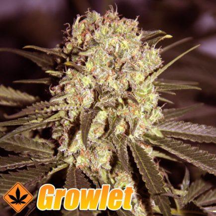 Super Critical semillas feminizadas de cannabis