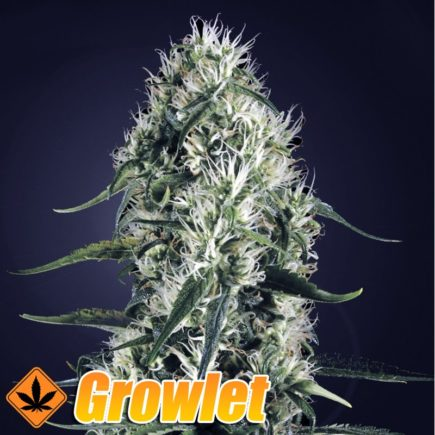 Super Silver Haze semillas feminizadas de cannabis