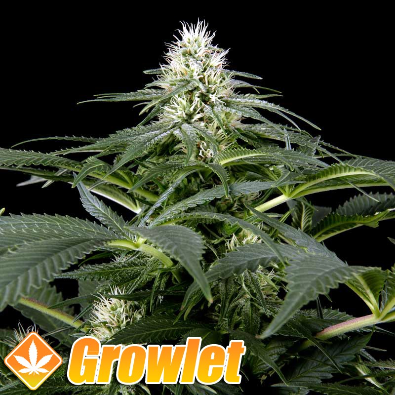 White Rhino semillas feminizadas de cannabis