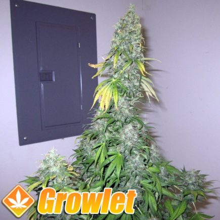White Widow GH semillas feminizadas de cannabis