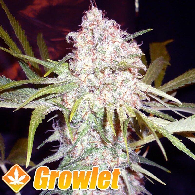 Super Skunk semillas feminizadas de cannabis