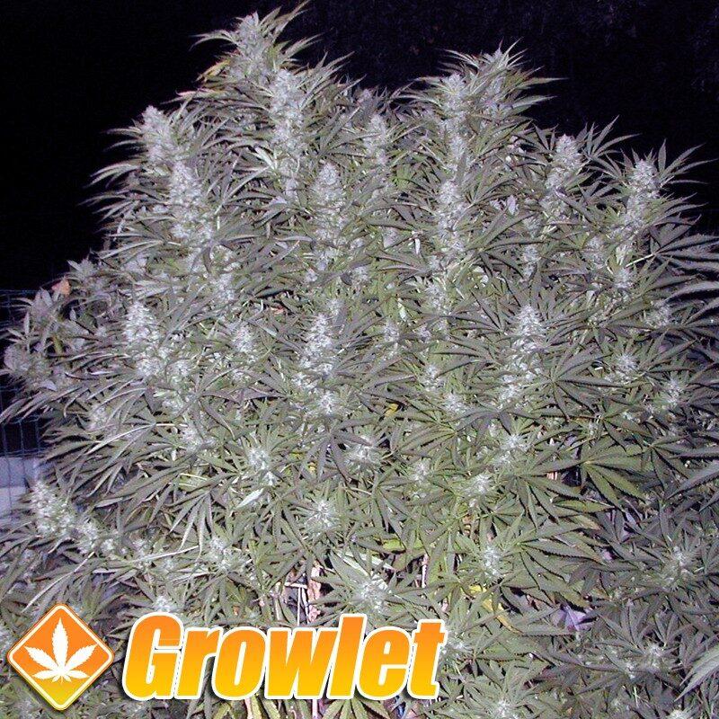 Early Skunk semillas feminizadas de cannabis