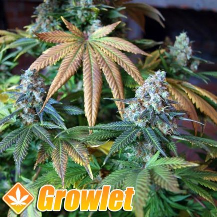 Blue Widow semillas feminizadas de cannabis