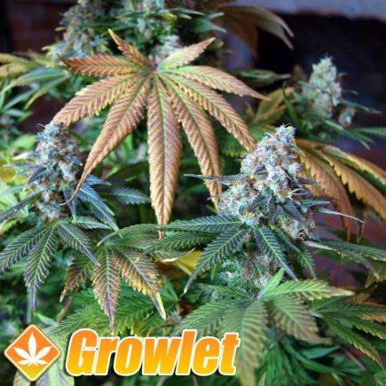 Blue Widow semillas feminizadas de cannabis