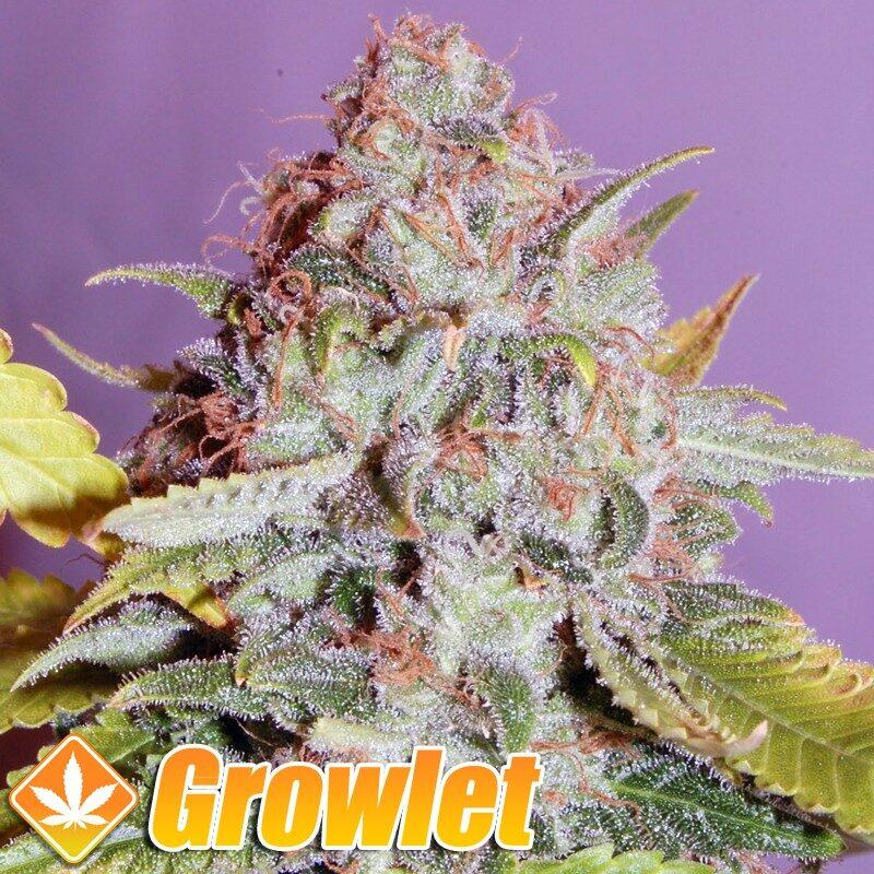 Cheese Dinafem semillas feminizadas de cannabis