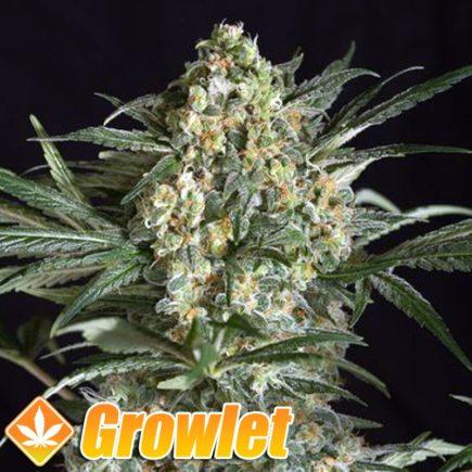 Critical + semillas feminizadas de cannabis