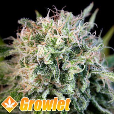 Critical Jack semillas feminizadas de cannabis