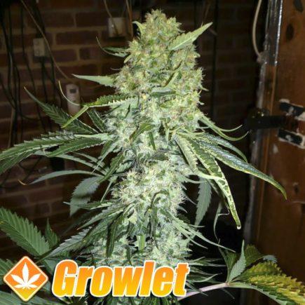 Diesel semillas feminizadas de cannabis