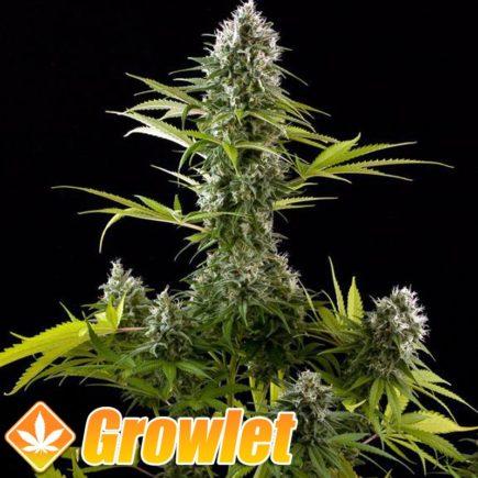 Industrial Plant semillas feminizadas de cannabis