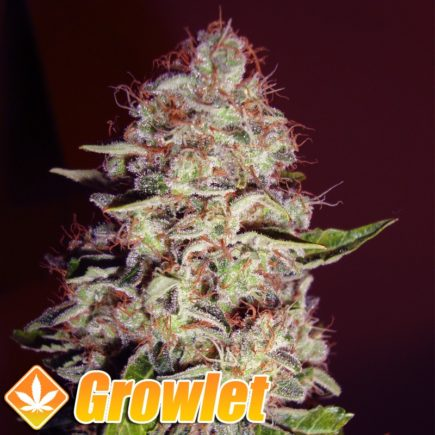 Mazar semillas feminizadas de cannabis