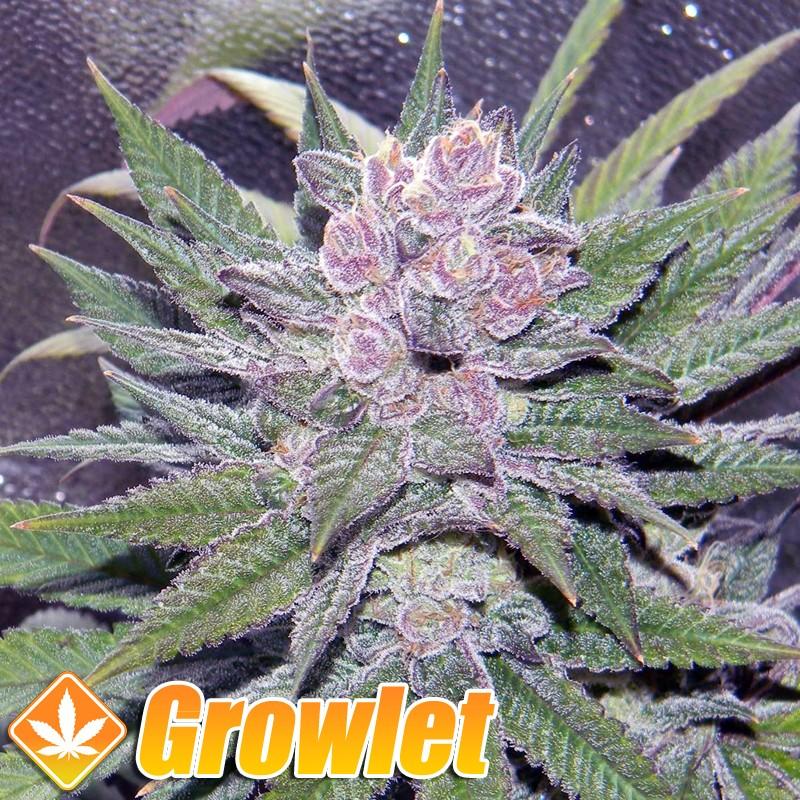 Blueberry semillas feminizadas de cannabis