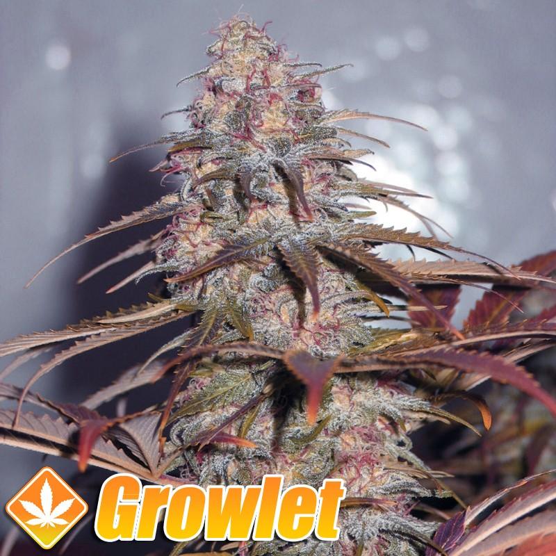 Californian Orange semillas feminizadas de cannabis
