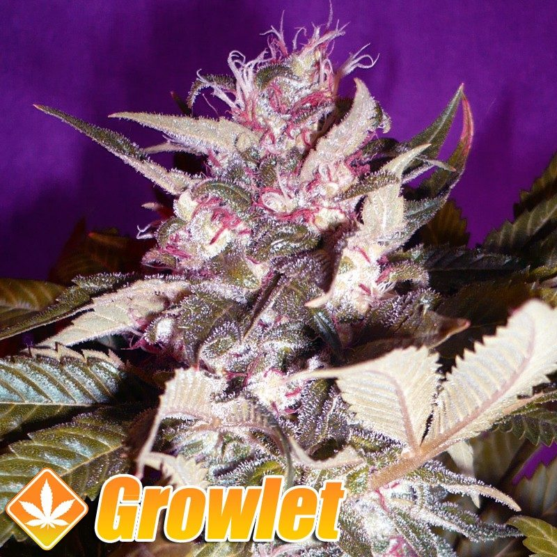 Orange Bud semillas feminizadas de cannabis