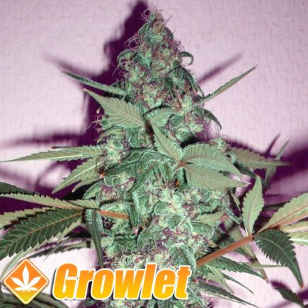 Euforia semillas feminizadas de cannabis