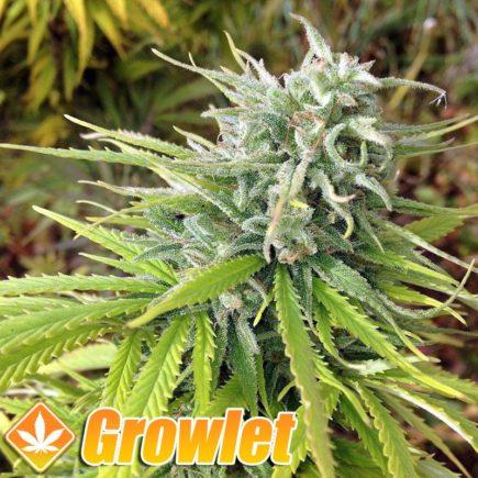 Durban Poison semillas feminizadas de cannabis
