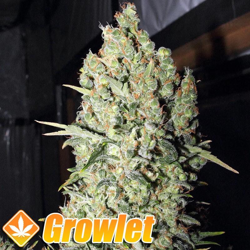 Chronic semillas feminizadas de cannabis