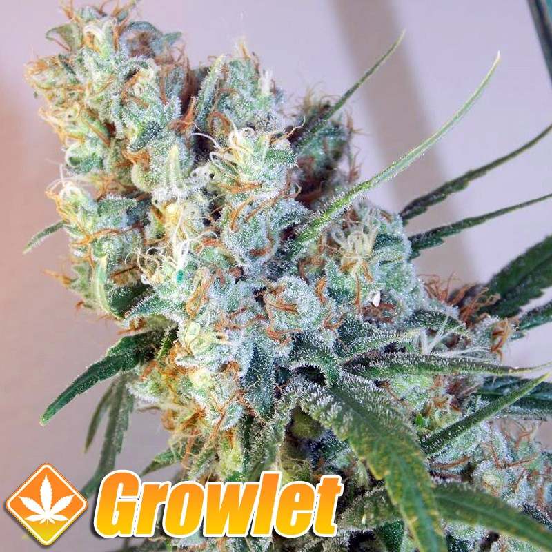 Panoramix semillas feminizadas de cannabis