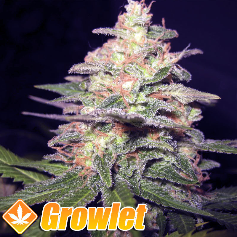 Cream 47 semillas feminizadas de Sweet Seeds