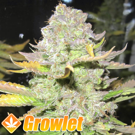 Semillas feminizadas Devil Fruit de Medical Seeds
