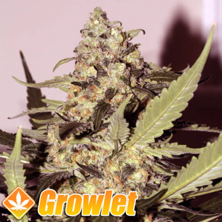 Semillas feminizadas Green Poison de Sweet Seeds
