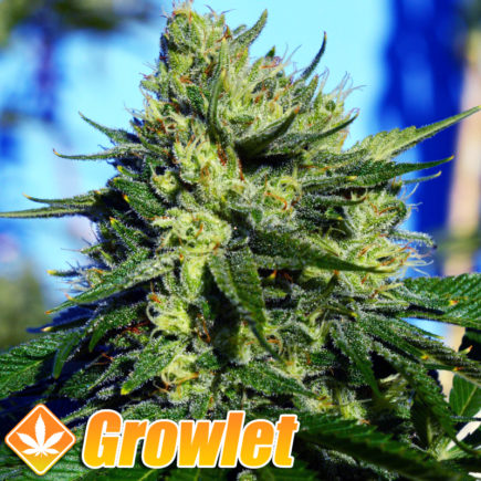 Semillas feminizadas Jack la Mota de Medical Seeds