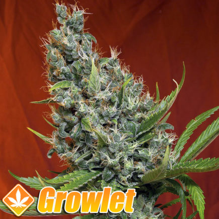 Semillas feminizadas Sweet Cheese de Sweet Seeds