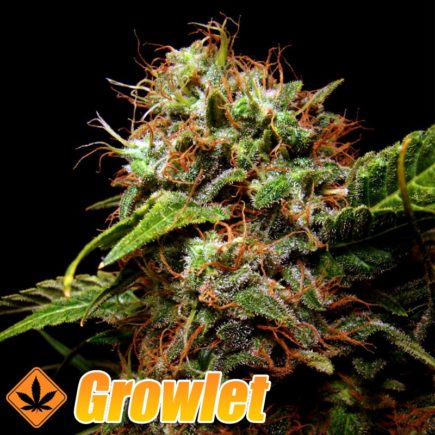 Sensi Star semillas feminizadas de cannabis