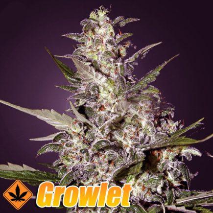 Super Critical Auto semillas feminizadas autoflorecientes de cannabis