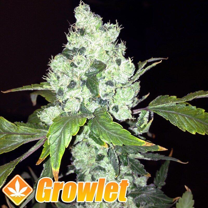 Pineapple Chunk semillas feminizadas de cannabis