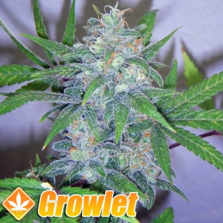 Blue Cheese semillas feminizadas de cannabis