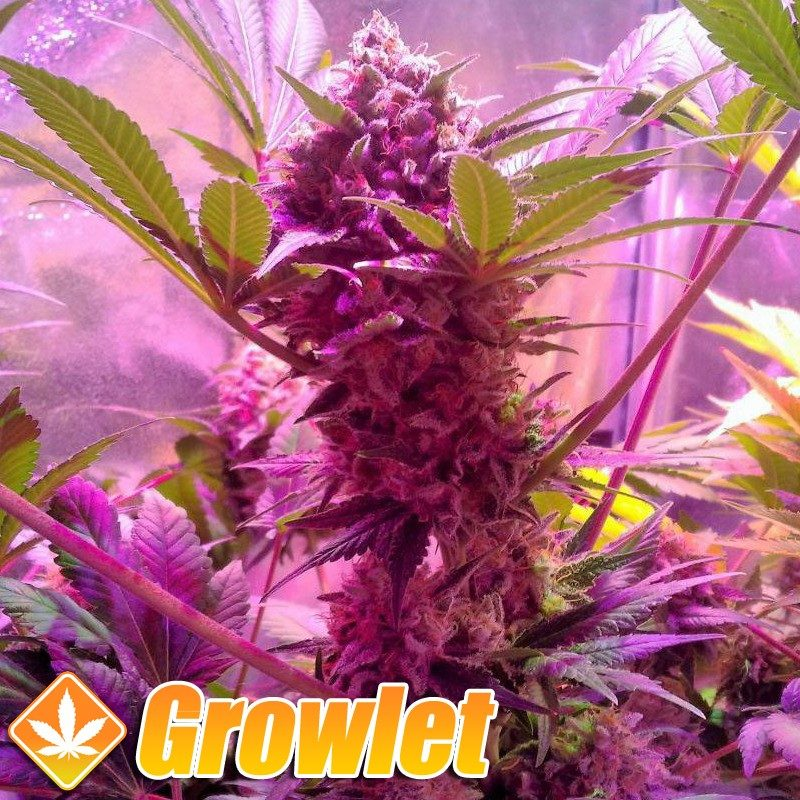 LSD semillas feminizadas de cannabis