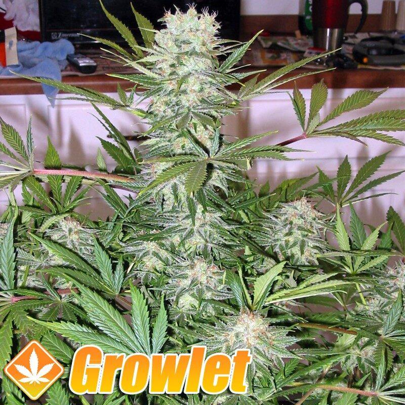 G13 Haze semillas feminizadas de cannabis