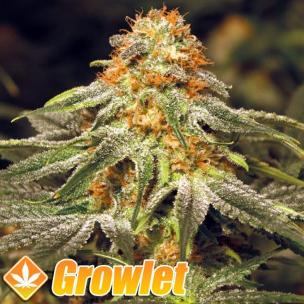 Vanilla Kush semillas feminizadas de cannabis
