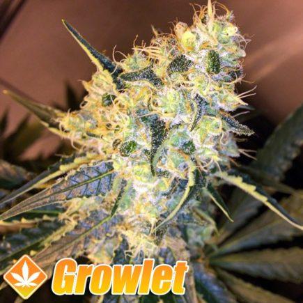 Red Diesel semillas feminizadas de cannabis